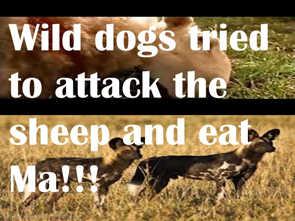 Wild dogs tried to attack the sheep and eat Ma!!!