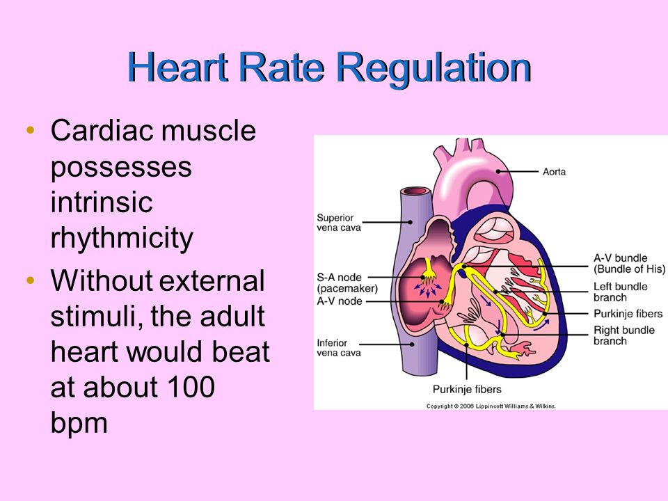 Regulation of HR Sympathetic influence –Catecholamine (NE/E) –Results in tachycardia Parasympathetic influence –Acetylcholine –Results in bradycardia Cortical influence – Anticipatory heart rate