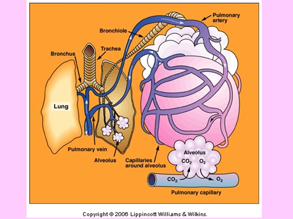 Pulmonary Structure and Function The ventilatory system –Supplies oxygen required in metabolism –Eliminates carbon dioxide produced in metabolism –Regulates hydrogen ion concentration [H + ] to maintain acid-base balance