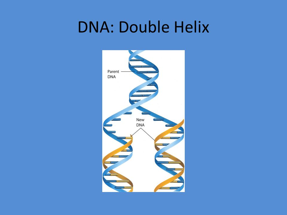 Example Watson and Crick proposed that DNA exists as a(n) A) alpha helix.