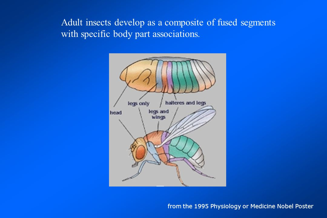 head mouthparts antennae compound eyes eyes HEAD The first body region is the head.