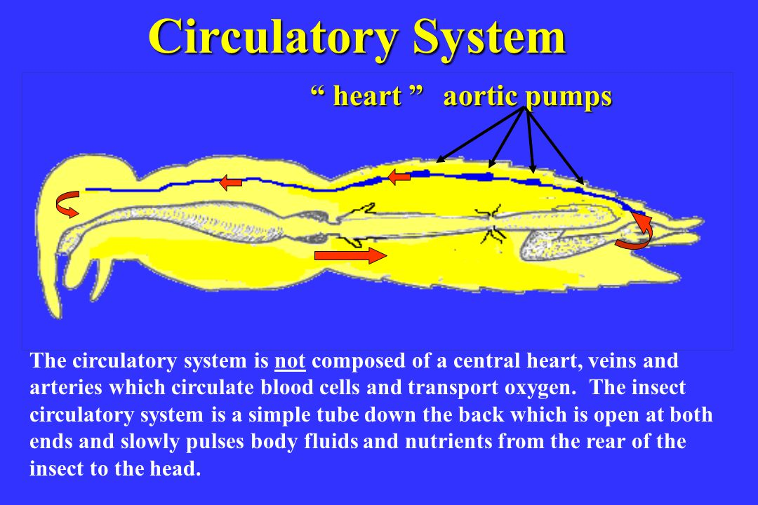 Nervous system Nervous System nerve bundles two lobed brain (ganglia) Insects have a less centralized nervous system than humans.