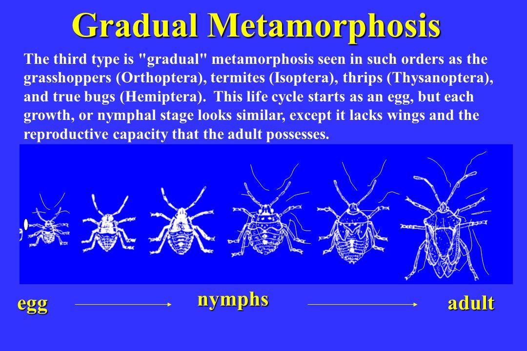 Complete Metamorphosis egg larvaepupaadult The fourth type is complete metamorphosis found in butterflies (Lepidoptera), beetles (Coleoptera), flies (Diptera), and bees, wasps, and ants (Hymenoptera).