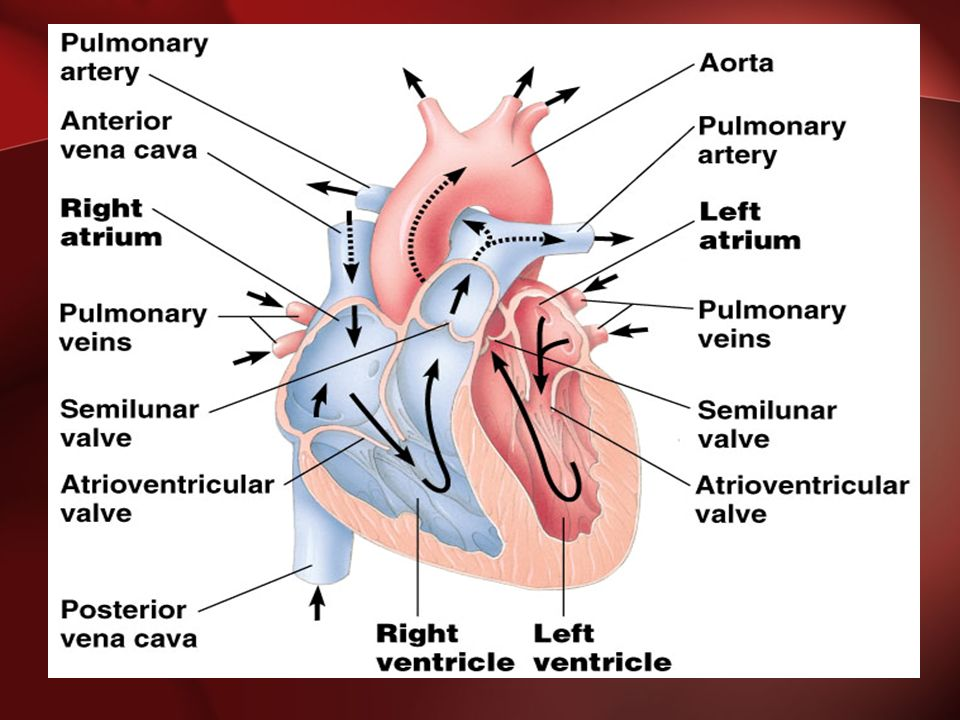 Pathway of the blood From the bodies organs and cells Vena Cava Right Atrium Tricuspid Valve Right Ventricle Pulmonary Semilunar Valve Pulmonary Artery Lungs Pulmonary Vein Left Atrium Bicuspid Valve Left Ventricle Aortic Semilunar Valve Aorta To the bodies organs & cells