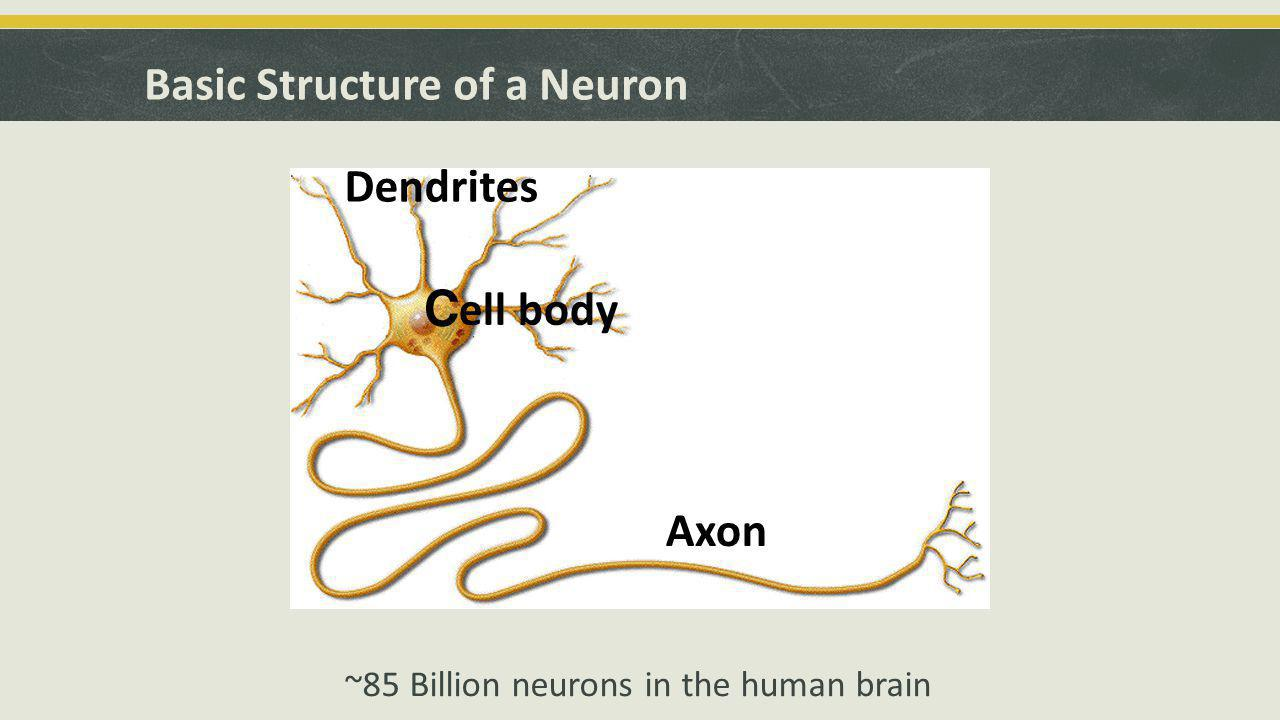 Important properties of neurons  Neurons have a negative membrane potential (i.e., inside negative vs.