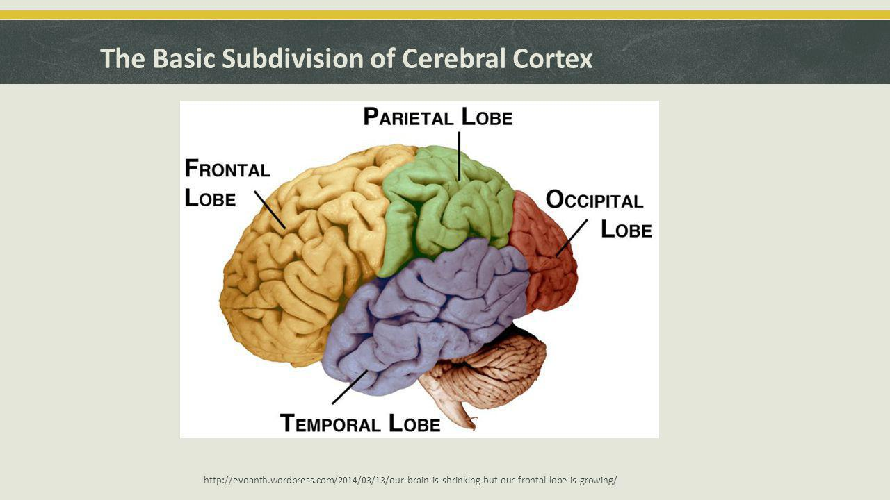 Some Functional Subdivisions of the Cerebral Cortex
