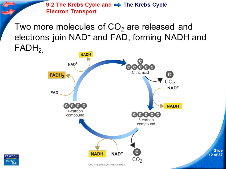 Slide 13 of 37 9-2 The Krebs Cycle and Electron Transport Copyright Pearson Prentice Hall The Krebs Cycle In addition, one molecule of ATP is generated.