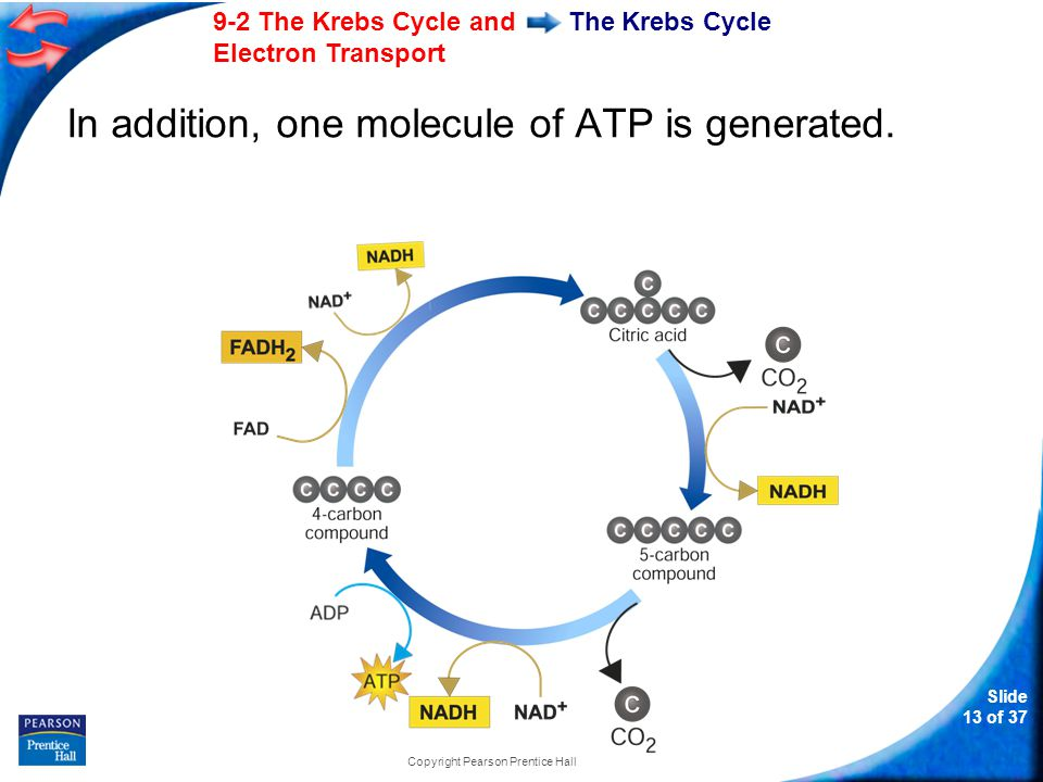 9-2 The Krebs Cycle and Electron Transport Slide 14 of 37 Copyright Pearson Prentice Hall The Krebs Cycle The energy tally from 1 molecule of pyruvic acid is 4 NADH 1 FADH 2 1 ATP
