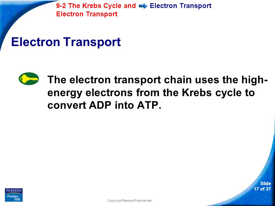 Slide 18 of 37 9-2 The Krebs Cycle and Electron Transport Copyright Pearson Prentice Hall Electron Transport High-energy electrons from NADH and FADH 2 are passed along the electron transport chain from one carrier protein to the next.