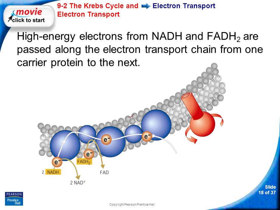 Slide 19 of 37 9-2 The Krebs Cycle and Electron Transport Copyright Pearson Prentice Hall Electron Transport At the end of the chain, an enzyme combines these electrons with hydrogen ions and oxygen to form water.
