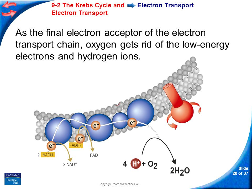 Slide 21 of 37 9-2 The Krebs Cycle and Electron Transport Copyright Pearson Prentice Hall Electron Transport When 2 high-energy electrons move down the electron transport chain, their energy is used to move hydrogen ions (H + ) across the membrane.