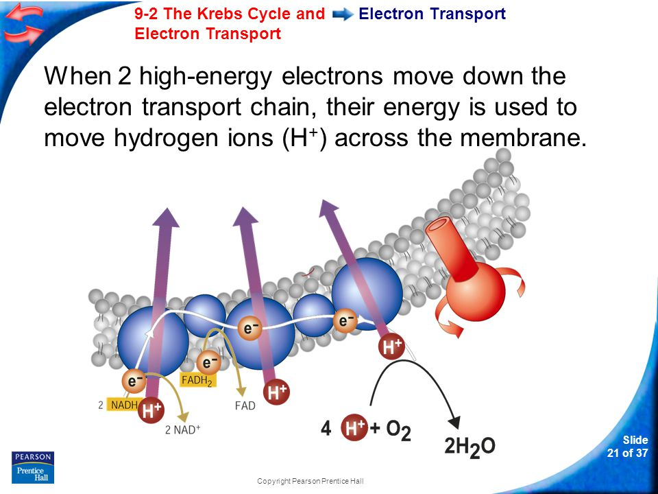 Slide 22 of 37 9-2 The Krebs Cycle and Electron Transport Copyright Pearson Prentice Hall Electron Transport During electron transport, H + ions build up in the intermembrane space, so it is positively charged.