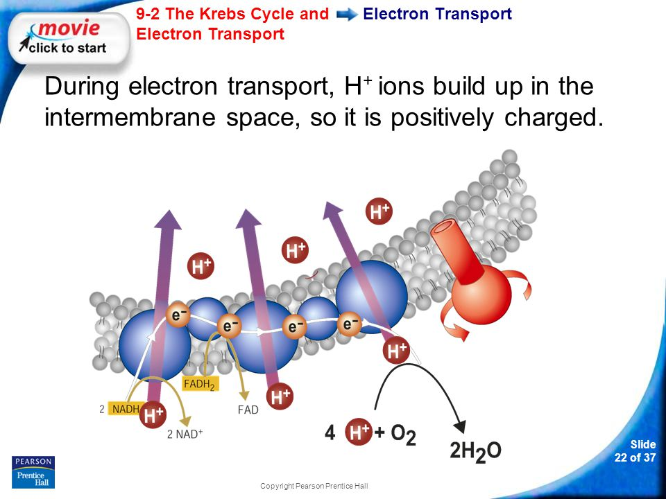 Slide 23 of 37 9-2 The Krebs Cycle and Electron Transport Copyright Pearson Prentice Hall Electron Transport The other side of the membrane, from which those H + ions are taken, is now negatively charged.