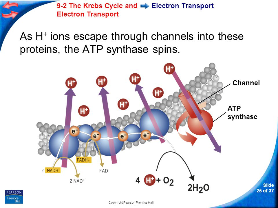 Slide 26 of 37 9-2 The Krebs Cycle and Electron Transport Copyright Pearson Prentice Hall Electron Transport As it rotates, the enzyme grabs a low-energy ADP, attaching a phosphate, forming high-energy ATP.