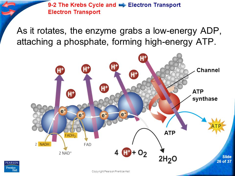 9-2 The Krebs Cycle and Electron Transport Slide 27 of 37 Copyright Pearson Prentice Hall Electron Transport On average, each pair of high-energy electrons that moves down the electron transport chain provides enough energy to produce three molecules of ATP from ADP.