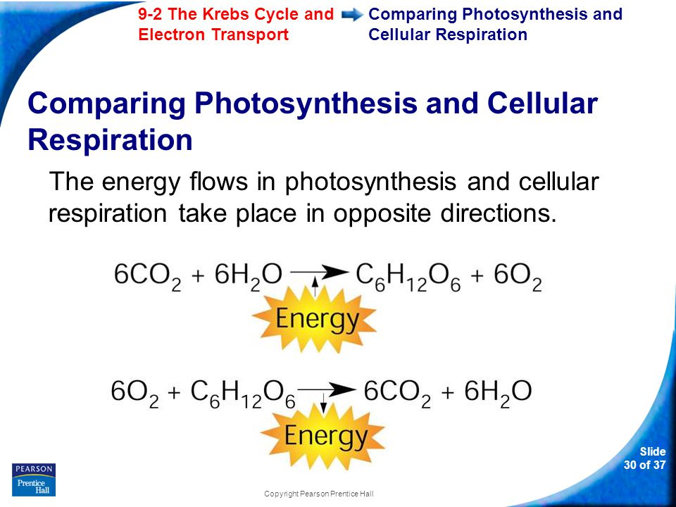 9-2 The Krebs Cycle and Electron Transport Slide 31 of 37 Copyright Pearson Prentice Hall Comparing Photosynthesis and Cellular Respiration On a global level, photosynthesis and cellular respiration are also opposites.