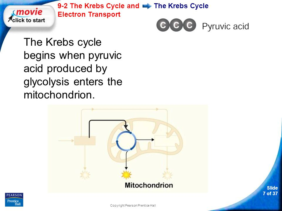 Slide 8 of 37 9-2 The Krebs Cycle and Electron Transport Copyright Pearson Prentice Hall The Krebs Cycle One carbon molecule is removed, forming CO 2, and electrons are removed, changing NAD + to NADH.