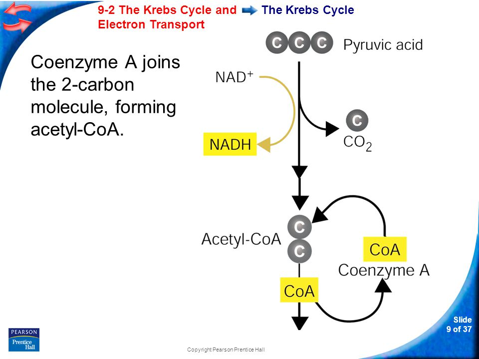 Slide 10 of 37 9-2 The Krebs Cycle and Electron Transport Copyright Pearson Prentice Hall The Krebs Cycle Citric acid Acetyl-CoA then adds the 2-carbon acetyl group to a 4- carbon compound, forming citric acid.
