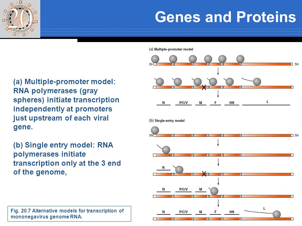 Genes and Proteins The promoter for plus-strand RNA synthesis consists of two sequence elements separated by one turn of the ribonucleoprotein helix mRNAs are synthesized sequentially from the 3 to the 5 end of the genome RNA