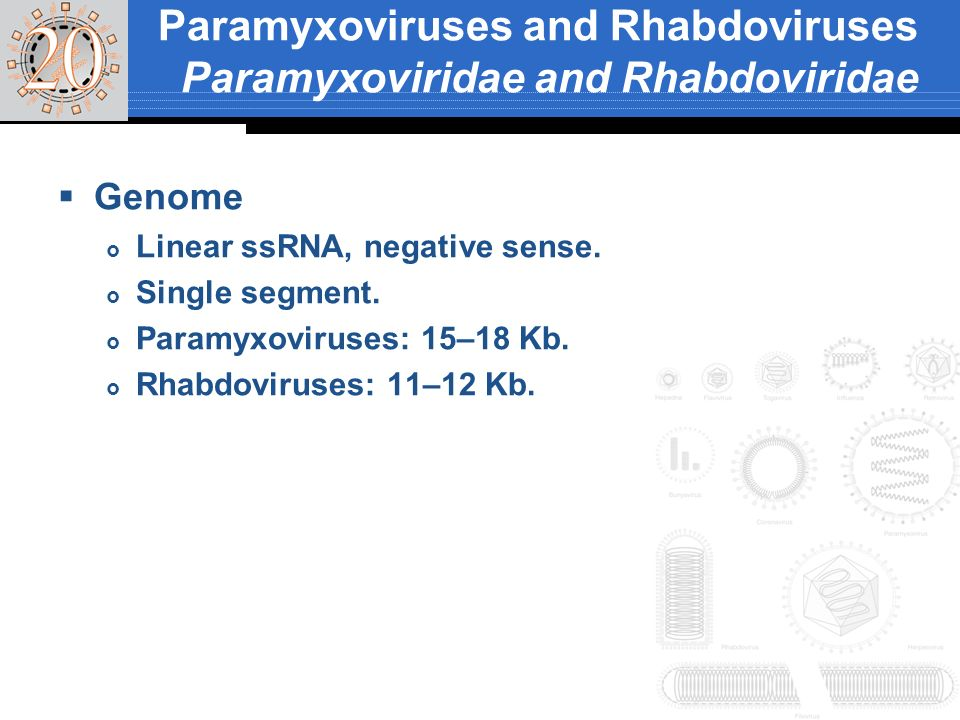 Genes and proteins Five to nine genes, transcribed in series from 3 end of genome by viral RNA polymerase.