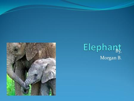 By, Morgan B. Species! The elephant species is Elphas Maximums. These are the species of an African and an Asian elephant. There used to be many more.
