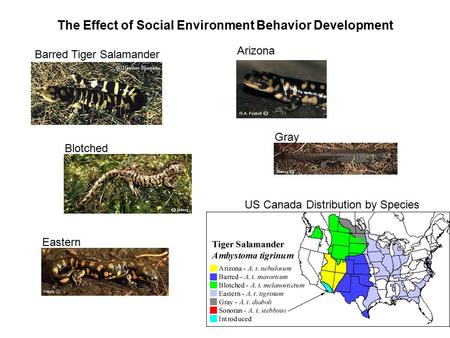 The Effect of Social Environment Behavior Development Blotched Gray Arizona Eastern Barred Tiger Salamander US Canada Distribution by Species.