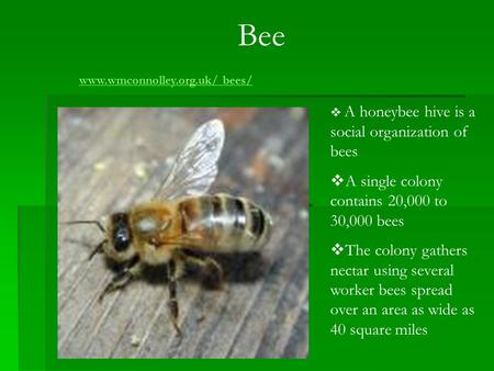 Bee  A honeybee hive is a social organization of bees  A single colony contains 20,000 to 30,000 bees  The colony gathers nectar using several worker.
