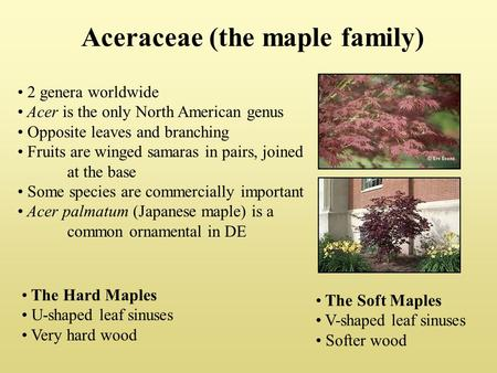 Aceraceae (the maple family) 2 genera worldwide Acer is the only North American genus Opposite leaves and branching Fruits are winged samaras in pairs,
