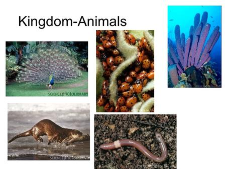 Kingdom-Animals. Animal Characteristics Heterotrophs Multicellular No cell walls Tissues (most) Sexual Reproduction (most)
