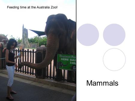 Mammals Feeding time at the Australia Zoo!. Characteristics of Mammals Vertebrate Warm-blooded 4 chambered heart Skin covered with fur or hair Every young.
