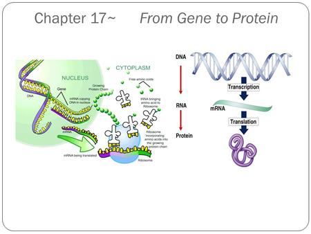 Chapter 17~ From Gene to Protein Protein Synthesis: overview One gene-one enzyme hypothesis (Beadle and Tatum) One gene-one polypeptide (protein) hypothesis.