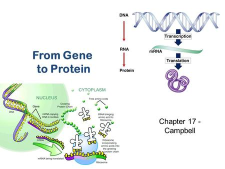From Gene to Protein Chapter 17 - Campbell What do genes code for? proteins All the traits of the body How does DNA code for cells & bodies?  how are.