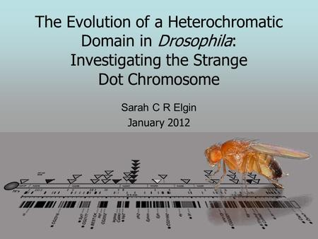 The Evolution of a Heterochromatic Domain in Drosophila: Investigating the Strange Dot <strong>Chromosome</strong> Sarah C R Elgin January 2012.
