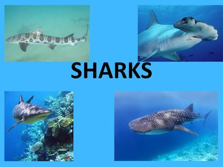 SHARKS. Sharks Sharks have been on earth for more than 450 million years. Older than dinosaurs. Sharks belong to the class of fish: Chondrichtyes. More.