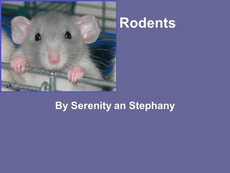 Rodents By Serenity an Stephany. What is a rodent? A rodent is a rat or squirrel they have sharp teeth that don't stop growing.