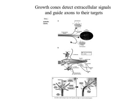 Growth cones detect extracellular signals and guide axons to their targets.