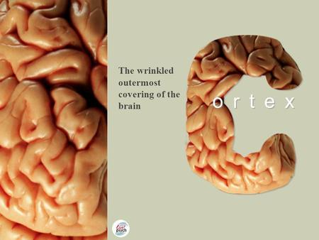 Copyright © Pearson Education 2012 ortex The wrinkled outermost covering of the brain.