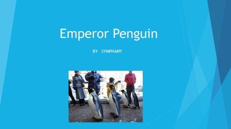 Emperor Penguin BY SYMPHANY. How do they look?  They have no hands, legs that are short, and sharp beaks.  Some penguins are orange, black, and white.