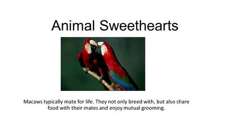 Animal Sweethearts Macaws typically mate for life. They not only breed with, but also share food with their mates and enjoy mutual grooming.
