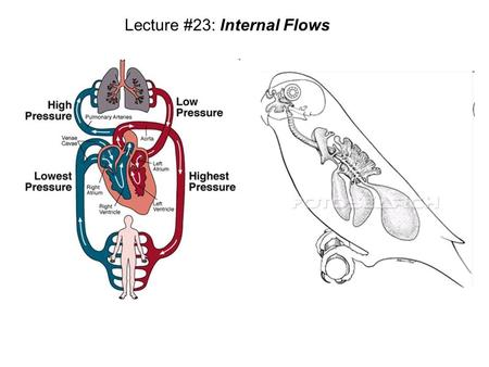 Lecture #23: Internal Flows. 1 cell cellular sheet cellular bilayer bilayered canister ecto- derm endo- derm one way gut mouth anus cephalization mesoderm.
