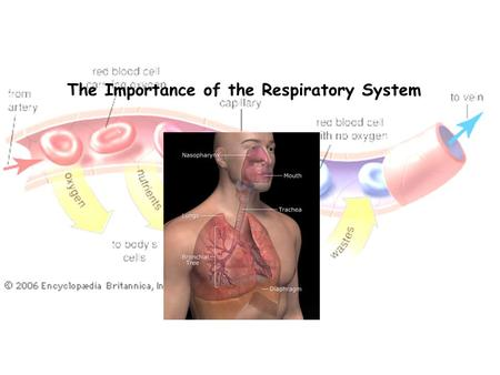 The Importance of the Respiratory System