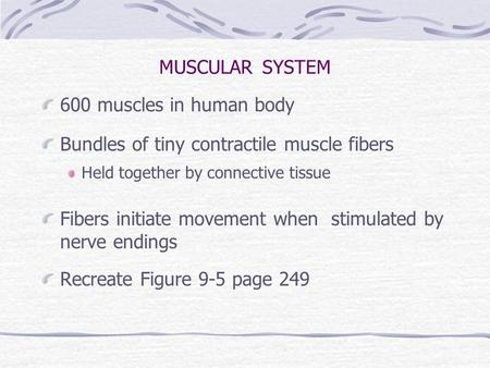 MUSCULAR SYSTEM 600 muscles in human body Bundles of tiny contractile muscle fibers Held together by connective tissue Fibers initiate movement when stimulated.