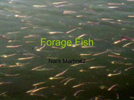 Forage Fish Nars Martinez. Forage Fish Facts Small Fish that breed prolifically Serve as food for marine animals, birds and salmon live and spawn on the.