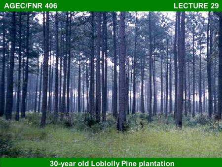 AGEC/FNR 406 LECTURE 29 30-year old Loblolly Pine plantation.