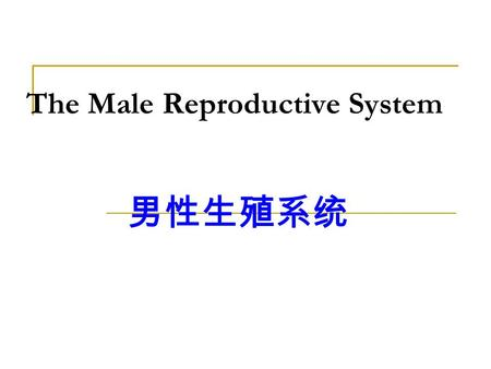 The Male Reproductive System 男性生殖系统