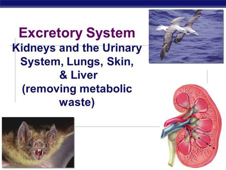 AP Biology 2008-2009 Excretory System Kidneys and the Urinary System, Lungs, Skin, & Liver (removing metabolic waste)