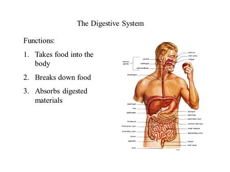 The Digestive System Functions: 1.Takes food into the body 2.Breaks down food 3.Absorbs digested materials.