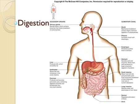 Digestion. Functions: Ingest: take food in through mouth Mechanical processing: manipulate (chew/swallow) from mouth, mixing in stomach Digestion: chemical.