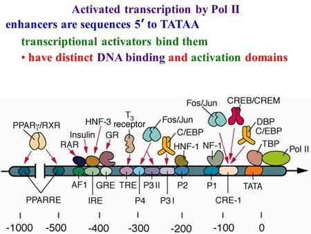 Activated transcription by Pol II enhancers are sequences 5' to TATAA transcriptional activators bind them have distinct DNA binding and activation domains.