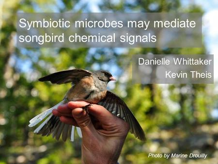 Symbiotic microbes may mediate songbird chemical signals Danielle Whittaker Kevin Theis Photo by Marine Drouilly.